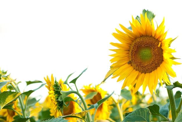 Kwiaty słonecznika w polu.