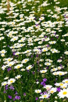 Kwiaty stokrotki sfotografowany zbliżenie białe stokrotki kwiaty lato czas