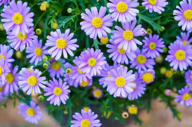 Kwiaty stokrotki z bliska