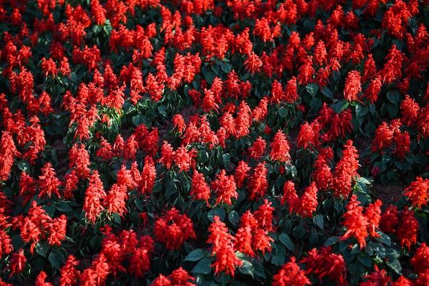 Kwiaty szałwii w ogrodzie, pięknie kwitnące kwiaty czerwona szałwia (salvia splendens)