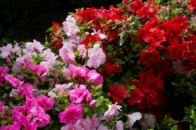 Kwiaty w ogrodzie. różowe i czerwone pąki i płatki na krzakach roślin, lato w tle