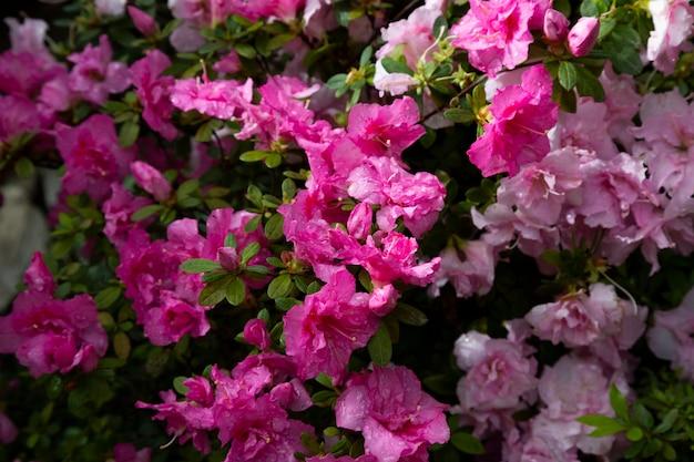 Kwiaty w ogrodzie. różowe pąki i płatki na krzakach roślin, lato w tle