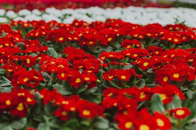 Kwiaty w szklarni