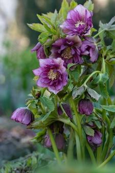 Kwiaty wielkopostnej róży lub ciemiernika podwójna ellen picotee, która naturalnie kiwa głową.