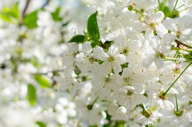 Kwiaty wiśni. białe wiosenne kwiaty z bliska. nieostrość wiosna sezonowe tło.