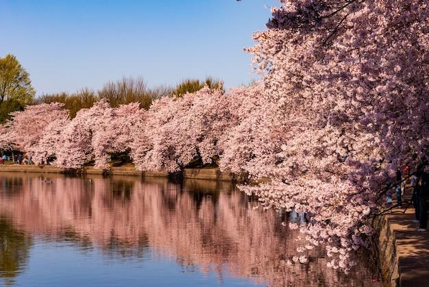 Kwiaty wiśni odbite w basenie pływowym podczas święta kwitnącej wiśni