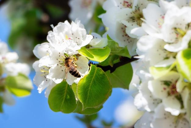 Kwiaty wiśni. pszczoła na liściach kwitnących wiśni na tle błękitnego nieba.