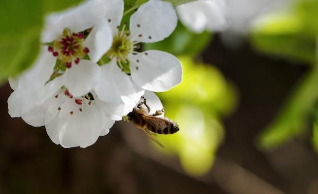 Kwiaty wiśni. pszczoła na liściach kwitnących wiśni.