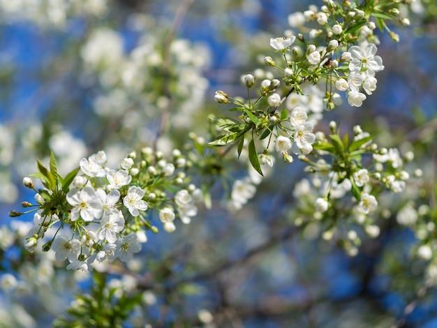 Kwiaty wiśni w maju. tło wiosna kwiatów