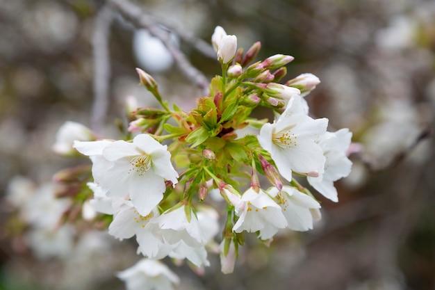 Kwiaty wiśni w wiosenny dzień, wiosna