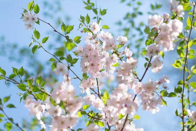 Kwiaty wiśni. wiosenna pocztówka.