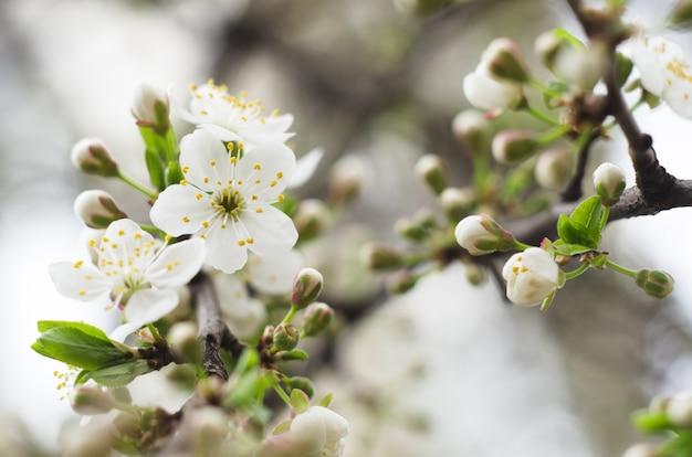 Kwiaty wiśniowe.