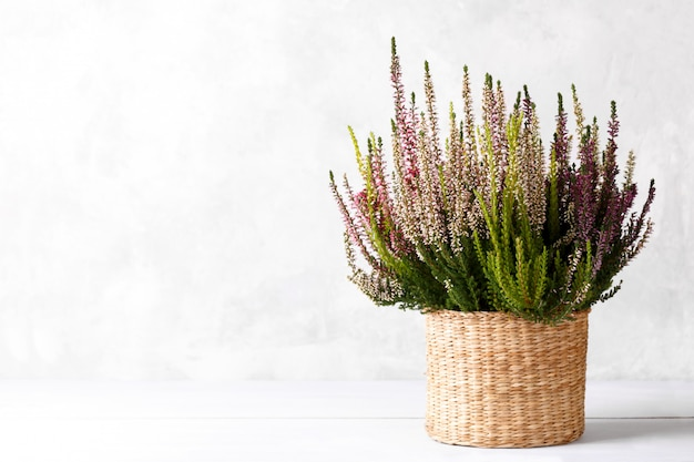 Kwiaty wrzosu calluna vulgaris lub erica gracilis