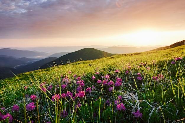 Kwiaty wśród traw. majestatyczne karpaty. piękny krajobraz. widok zapierający dech w piersiach.