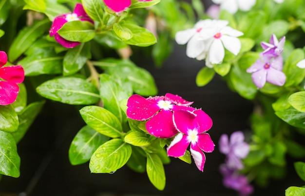 Kwiaty z kroplami deszczu w ogrodzie, barwinek zachodnioindyjski, catharanthus roseus, kwiat vinca, bringht eye