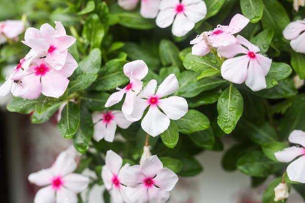 Kwiaty z kroplami deszczu w ogrodzie, nieostrość. barwinek indyjski, catharanthus roseus, kwiat vinca, bringht eye