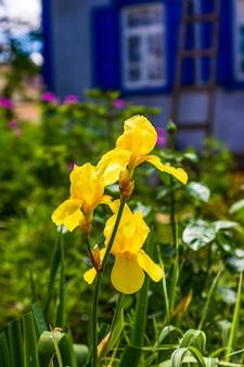 Kwiaty żółte irysy na klombie z bliska
