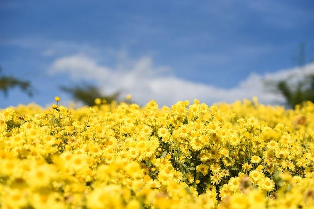 Kwiaty żółte pole z żółtą chryzantemą w ogrodzie i niebieskim tle nieba