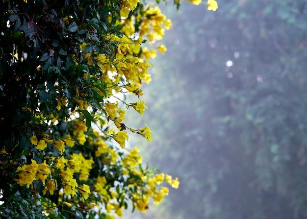 Kwiaty żółte trumpetbush, tecoma stans