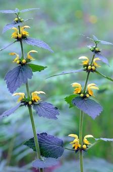 Kwiaty żółtego archanioła (lamium galeobdolon), pospolitej dzikiej rośliny w lasach