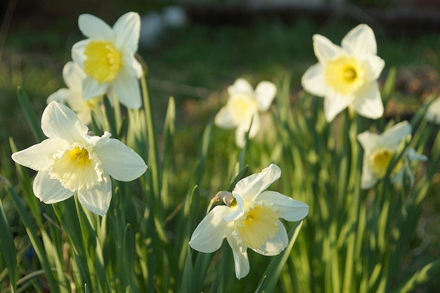 Kwiaty żonkile na tle zielonego trawnika w letni dzień.