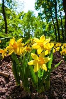 Kwiaty żonkile w ogrodzie kwiatowym keukenhof, lisse, holandia, holandia