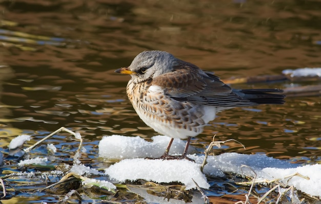 Kwiczoł turdus mieszkowy ptak siedzący na zaśnieżonej wysepce w małej rzece