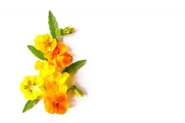 Kwiecista rama z pięknymi fiołkami lub pansiy pomarańczowymi i żółtymi kwiatami na białym tle z kopii przestrzenią.
