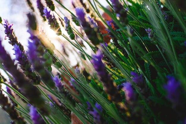 Kwiecisty tło z wibrującą lilą lawendą z kopii przestrzenią dla teksta w naturalnym położeniu.