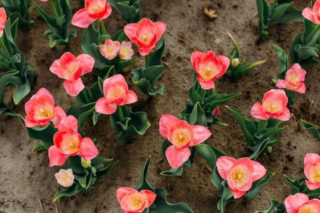 Kwietnik czerwony kwiaty tulipany kwitnące widok z góry