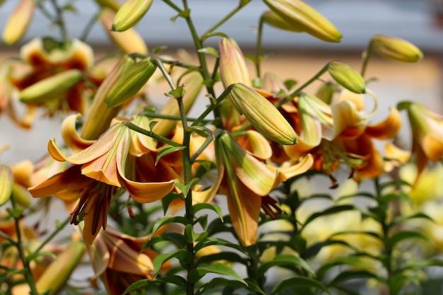 Kwietnik pełen żółtych kwiatów lilii i pąków z selektywnym skupieniem w ogrodzie botanicznym