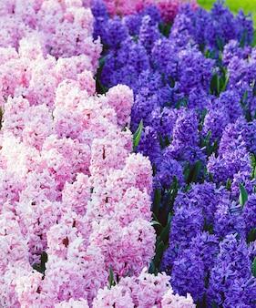 Kwietnik Z Pięknymi Różowymi I Niebieskimi Hiacyntami W Wiosennym Parku. Premium Zdjęcia