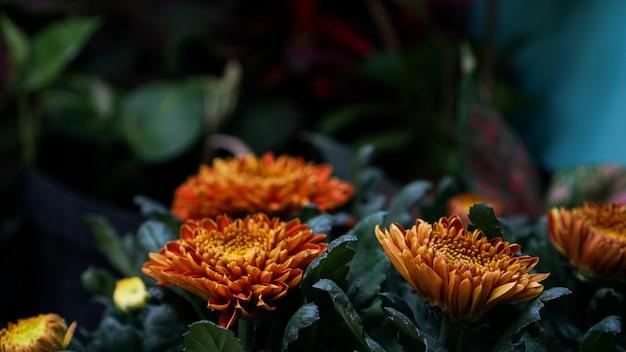 Kwitną pomarańczowe kwiaty chryzantemy