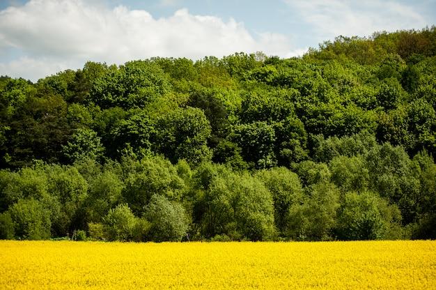 Kwitną żółte pola rzepaku