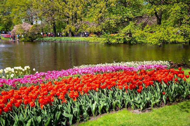 Kwitnąć kwitnie tulipany w holandiach podczas wiosny.