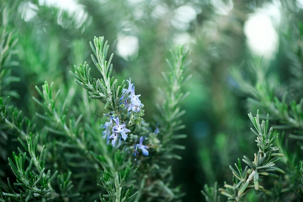 Kwitnąć rozmarynowe rośliny z kwiatami na zielonym bokeh zielarskim tle. rosmarinus officinalis angustissimus benenden niebieskie pole. skopiuj miejsce