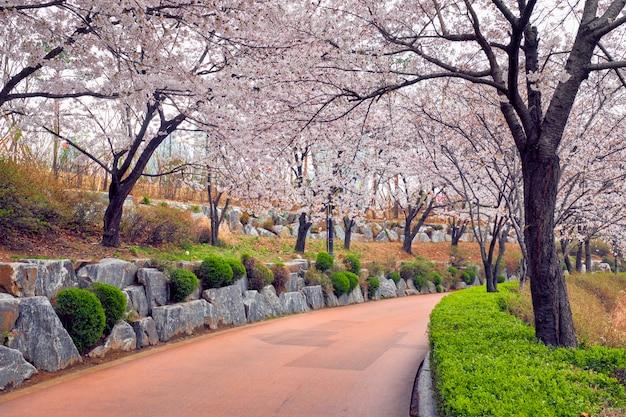 Kwitnąca aleja sakura kwiat wiśni w parku