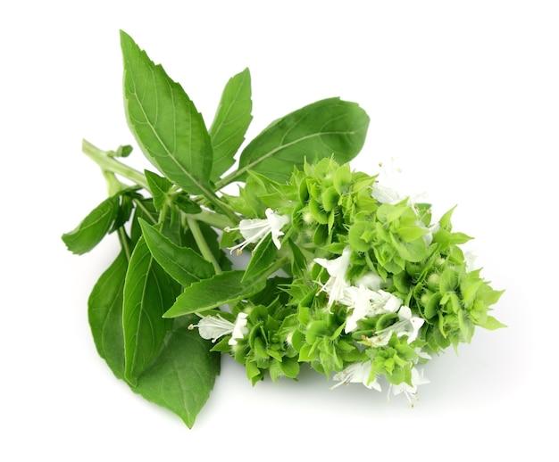 Kwitnąca bazylia na białym tle
