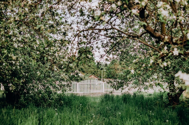 Kwitnąca biała jabłoń ogródu wsi wiosna