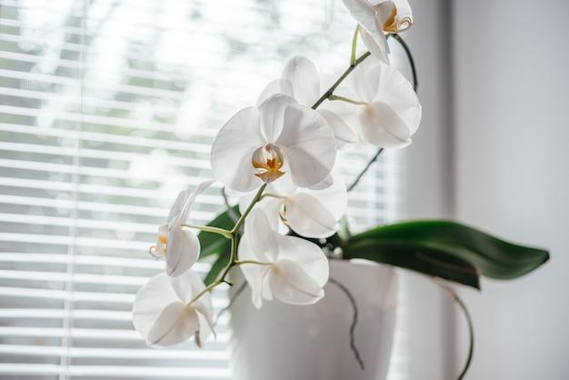 Kwitnąca biała orchidea doniczkowa w oknie łazienki z okiennicami, phalaenopsis lub storczyk ćmy pod rozproszonym naturalnym światłem okiennic, łatwe do uprawy storczyki jako rośliny doniczkowe