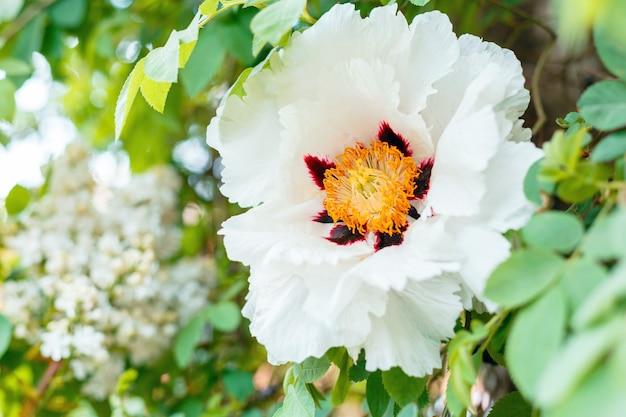 Kwitnąca biała piwonia. piękny duży wiosenny kwiat kwitnie na krzaku. piwonia drzewiasta paeonia suffruticosa w ogrodzie. ogrodnictwo kwiaciarskie.