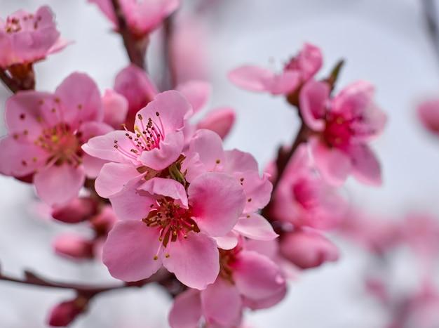 Kwitnąca brzoskwinia w ogródzie.