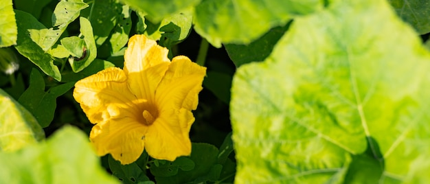 Kwitnąca cukinia w słoneczny dzień. żółty kwiat cukinii w zielonych liściach. cukinia dojrzewa w ogrodzie. skopiuj miejsce