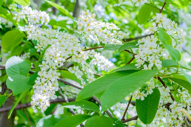 Kwitnąca czeremcha ptasia (prunus padus, borówka brusznica, drzewo majowe) rozsiewa pachnący aromat. jagoda w pełnym rozkwicie na słońcu. kwiaty wiśni z bliska. wiosna.