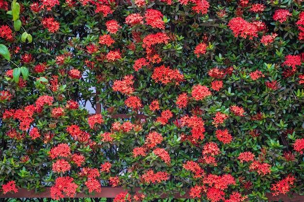 Kwitnąca czerwona chińska ixora na ścianie ogrodzenia