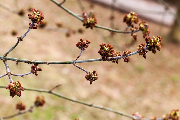 Kwitnąca część nerek drzewa z czerwonymi pręcikami, zbliżenie przy słabym oświetleniu w cieniu innych drzew, wiosna