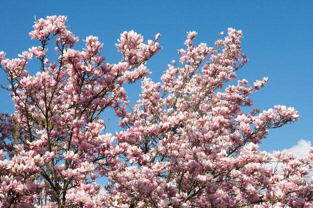 Kwitnąca drzewo magnolii na niebieskim niebie
