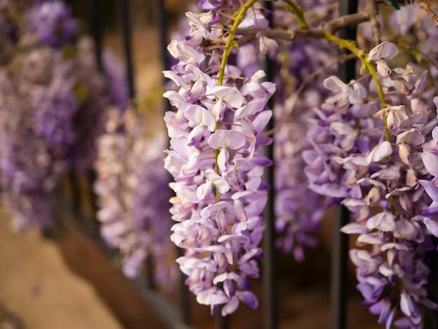 Kwitnąca fioletowa wisteria na zewnątrz. wisteria sinensis purpurowe kwiaty na naturalnym tle.