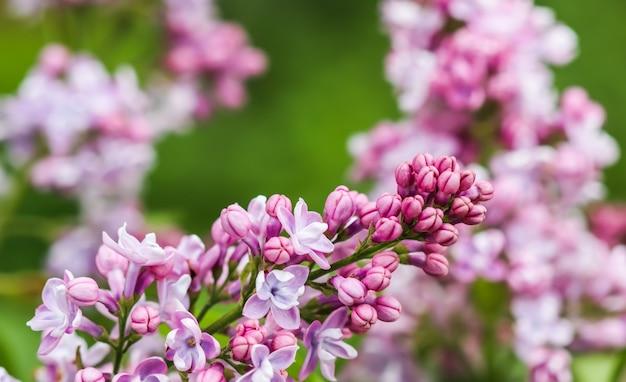 Kwitnąca gałąź fioletowy frotte kwiat bzu kwiatowy tło