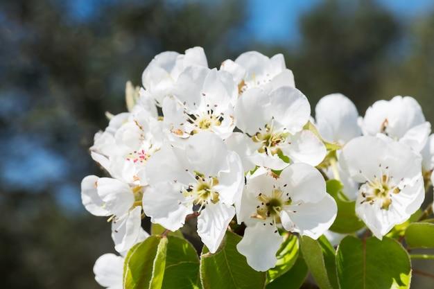 Kwitnąca gałąź gruszy. kwitnący wiosenny ogród. kwiaty gruszy z bliska. niewyraźne kwiat gruszy wczesną wiosną
